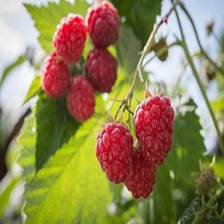 Best polka raspberry plants Reviews