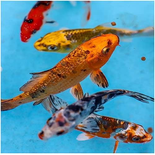 Colorful Pond Live Koi Mix | Pond Fish Pack (5) 5-7' Koi Fish | Mix of Colors & Patterns