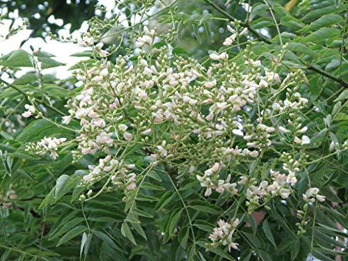 Japanischer Schnurbaum Styphnolobium japonica Pflanze 45-50cm Honigbaum Rarität