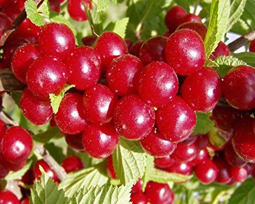 30 Samen: Nanking Bush Kirsche, Prunus tomentosa, Strauch Samen (Fast, Hardy, Edible)