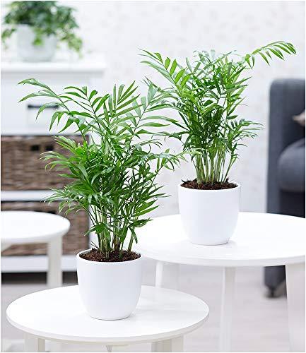 BALDUR Garten Zimmerpalmen Duo, 2 PflanzenLuftreinigende Zimmerpflanze Palme Chamaedorea Bergpalme Zimmerpalme