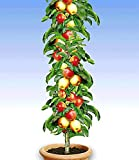 Kisshes Seedhouse - 50pcs Bio Rare Mini-pommier 'Gala' plante vivace graines plant fruitier jardin juteuse aux balcons et aux terrasses