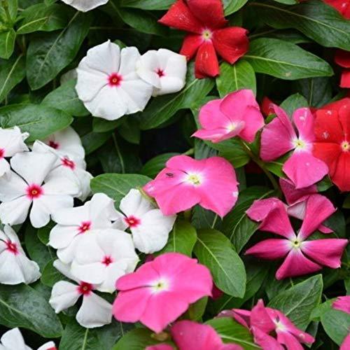 Vinca Samen zu Wachsen, Immergrün Gemischte Farbige Blume, mehrjährige Immergrüne Hardy Strauch Samen Bodendecker Blumensamen Mix Organische Samen 500 stücke
