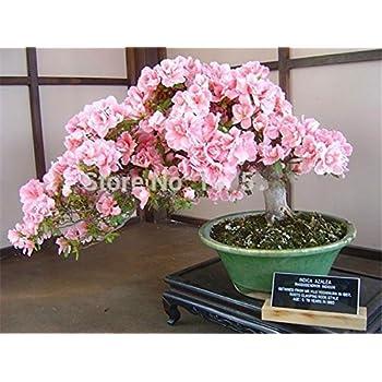 paquet Bonsa/ï japonais graines de sakura 10 graines bonsa/ïs fleur de cerisier