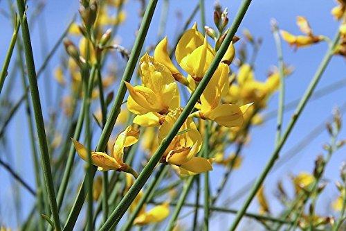 15 Spartium junceum Samen, Ginster oder Weber Besen,