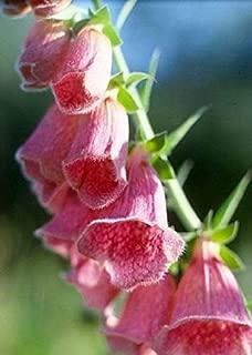 Best digitalis mertonensis seeds Reviews