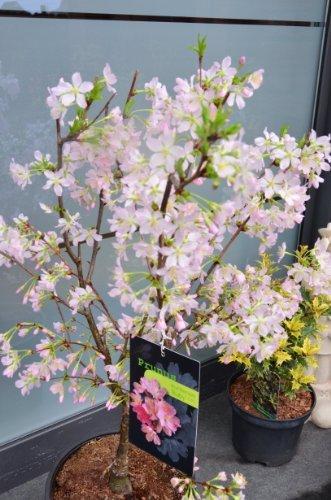 Japanische Zierkirsche Prunus kurilensis Ruby 60-80 cm hoch im 5 Liter Pflanzcontainer