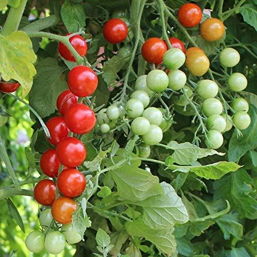 Rubinka Tomatensamen für ca. 10 Pflanzen - ertragreiche Cherrytomate