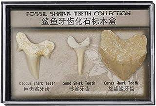 Namvo Uppsättning av 3 st naturliga fossil haj tandprov naturliga stenar för utbildning heminredning tänder fossiler barn ...