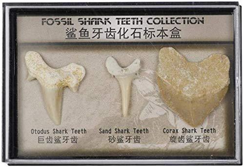 Namvo Set di 3 Pezzi fossili Naturali di Denti di squalo Pietre Naturali per l'istruzione Decorazioni per la casa Denti fossili Regalo per Bambini