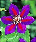 BALDUR Garten Waldrebe Clematis 'Etoile de Malicorne' winterhart, 1 Pflanze Klematis mehrjährige blühende Kletterpflanzen