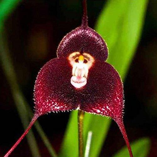 Tangbasi 10 Stks Aap Gezicht Orchidee Bloem Zaden voor Tuinpotten Planten