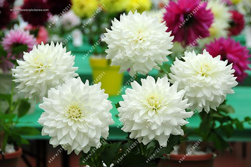 20pcs / sac dahlia fleur graines de dahlia, (pas des bulbes de dahlia) graines de fleurs bonsaï fleur magnifique balcon plante en pot pour le jardin de la maison 15