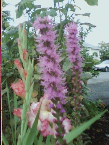 Prachtscharte, BLAZING STARS, purpurrote Blume, 50 Samen