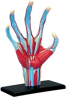 نموذج علم التشريح العقلي لليد مع عضلات وأربطة، وأعصاب وشرايات | 28 قطعة قابلة للإزالة من أجل اليد، نموذج التعليم الطبي