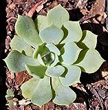 ScoutSeed Echeveria Peacockii planta maceta de 7 cm ENVÃO GRATIS por más de £ 20