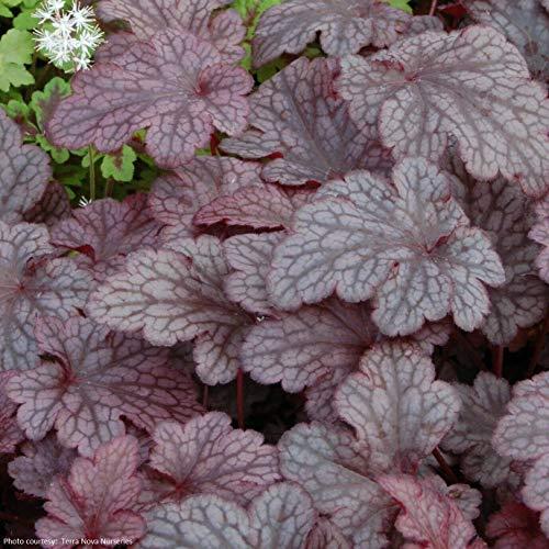 1 Live Potted Plant - Heuchera Plum Pudding Colorful Purple Coral Bells 2.5