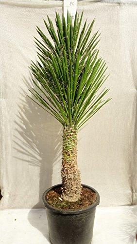 Yucca filifera - Palmlilie - RARITÄT - verschiedene Größen - PALLETTENVERSAND INNERHALB DEUTSCHLAND (160+cm - Stamm 50-60cm - Ø 45cm)