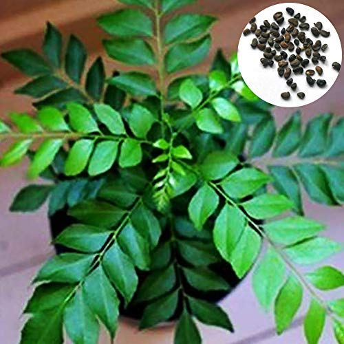 Garretlin Seeds-400pcs Curry Leaf Tree semi di erba culinaria all'aperto fai da te decorazione casa giardino fresco semi di qualità