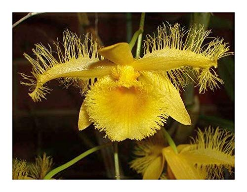 Dendrobium harveyanum - Orchideen - 100 Samen