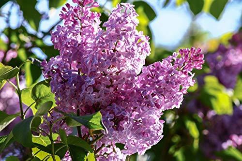 GEOPONICS 10 Samen - Syringa -Schön duftende Blüten violett ()