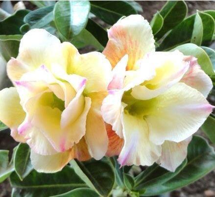 graines importées réel, sac 1pcs/plante colorée Desert Rose bonsaïs, Adenium obesum graines bricolage jardin maison 2 expédition