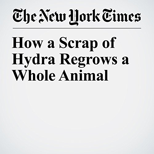 How a Scrap of Hydra Regrows a Whole Animal copertina