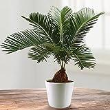 Cycas Revoluta - 1 plante