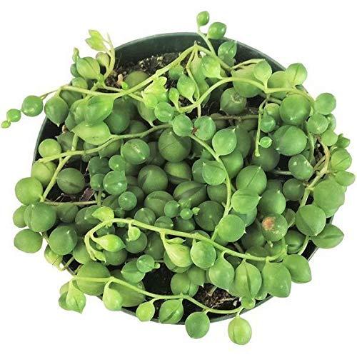 Ferry 4 inch: Perlenkette Pflanzen Succulents Senecio Rowleyanu Pflanzen (2 '' oder 4 '' oder 6 '')