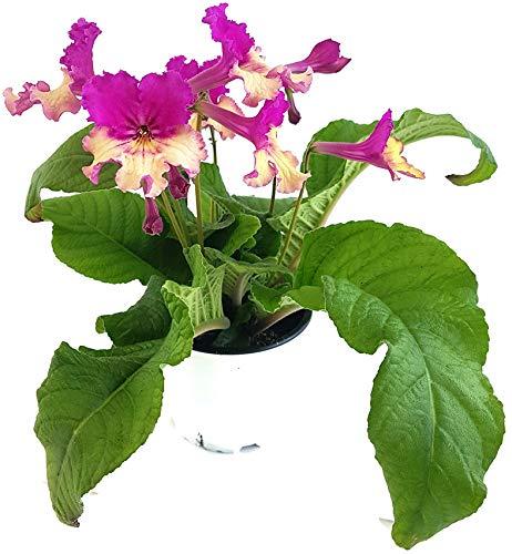 Fangblatt - Streptocarpus rosa/gelb - afrikanisches Veilchen – Drehfrucht mit zarten Blüten – eine duftende und exotische Zierpflanze