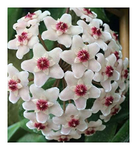 Hoya carnosa White - Porzellanblume - Wachsblume - 10 Samen