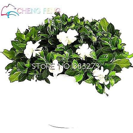 50 Particules Un pack blanc Gardenia Seeds Rare Cape Flores Jasmine Seeds Belle Graine de fleur Facile à Sprout Planteur Montre Pot