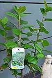 Apfelbeere Aronia melanocarpa Viking 40 - 60 cm hoch im 3 Liter Pflanzcontainer