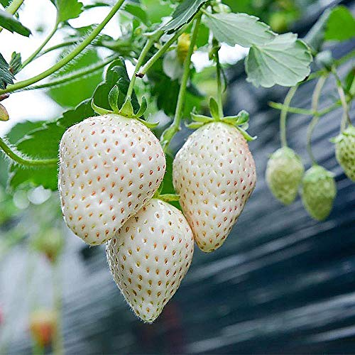 Everbearing White Strawberry Seeds 200PCS Non-GMO Grow in Pot