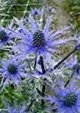 Tropica - Steingarten - Große Edeldistel (Eryngium planum) - 100 Samen