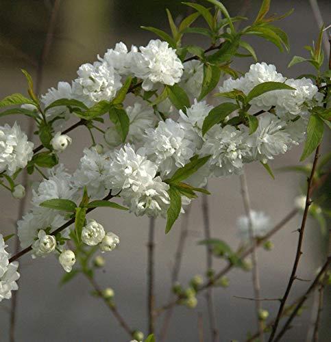 Chinesische Zwergkirsche 40-60cm - Prunus glandulosa