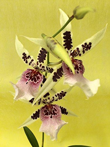 1 blühfähige Orchidee der Sorte: Wilsonara Kolibri x Onc. Katrin Zoch, traumhafte Orchidee vom deutschen Züchter