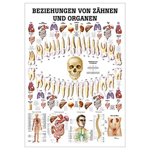 Ruediger Anatomie TA75 Beziehungen von Organen und Zähnen Tafel, 70 cm x 100 cm, Papier