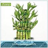 ZLKING 20pcs bambú de la suerte de semillas Semillas maceta Balcón alta ciernes tarifa para...