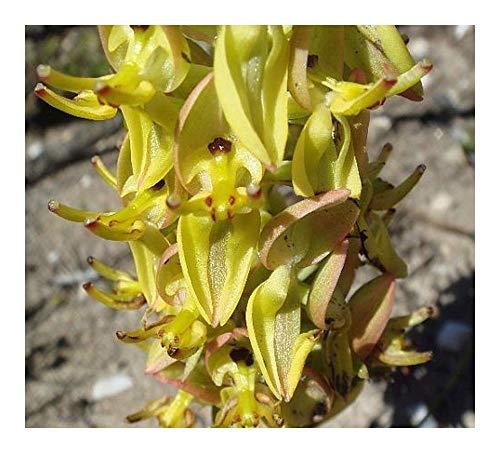 Ceratandra atrata - orchidées - 20 graines