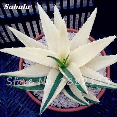50 Pcs Aloe Vera Graines Beauté comestibles cosmétiques colorés Bonsai Cactus Succulentes Plantes Fleurs Légumes Fruits Graines Pour Balcon 17