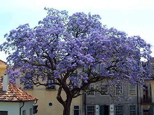 100 Semillas de Paulownia Tomentosa (princess tree seeds)