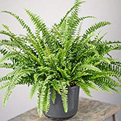 ICONIC DANGLING GREEN FOLIAGE – As the plant grows older, the fronds will begin to droop downwards. The ideal solution for this is to place it in a higher location, perhaps from a shelving unit or as an indoor hanging plant. FRILLY FRONDS GIVE IT STA...