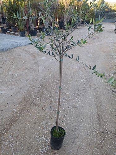 Ulivo Frantoio Pianta in vaso di Ulivo Frantoio - 1 Pianta in vaso Ø 17