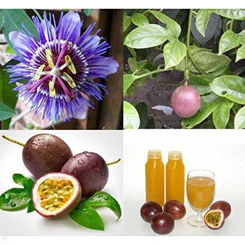Nouveau Rare 10X SEED Passion Fruit de la passion Passiflora edulis Graines Légumes Salade de cuisson de haute qualité