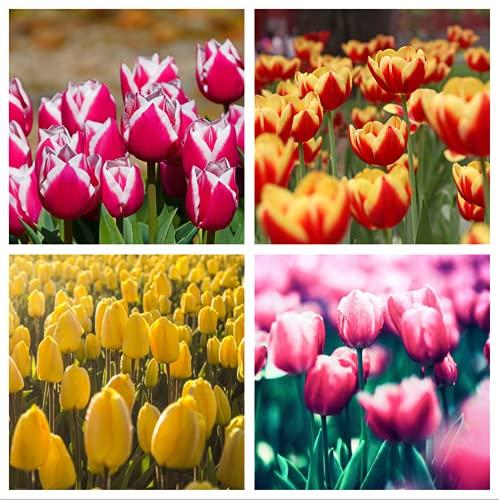 Bulbi Di Tulipano I Tulipani Sono Fiori Bulbosi Famosi in Tutto Il Mondo Con Aromi Affascinanti E Ottimi Fiori Recisi.-5-bulbi,Colore misto