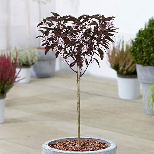 Prunus Cistena Tree | Sand Cherry Potted Ornamental Trees for Small Gardens (70-80cm (Incl. Pot))