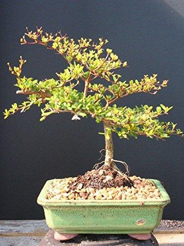 Indoorbonsaiexotics Dwarf Black Olive Bonsai Tree