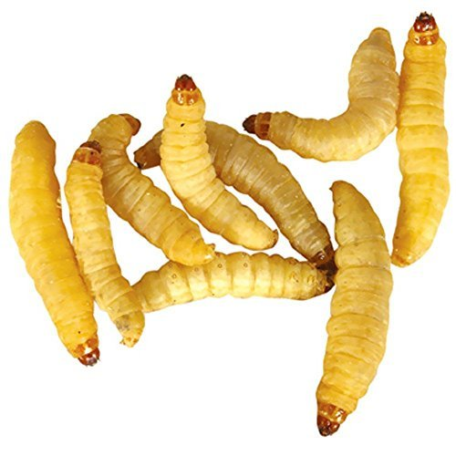 Timberline Wax Worms (500 Count)