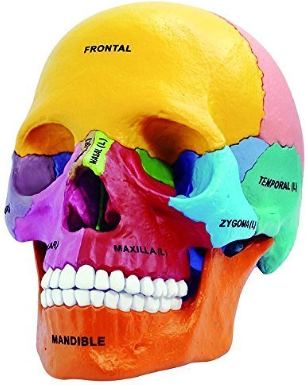 comprar descuentos 4D Vision Didactic Exploded Skull Model 1 2 by by by Fame Master  entrega gratis